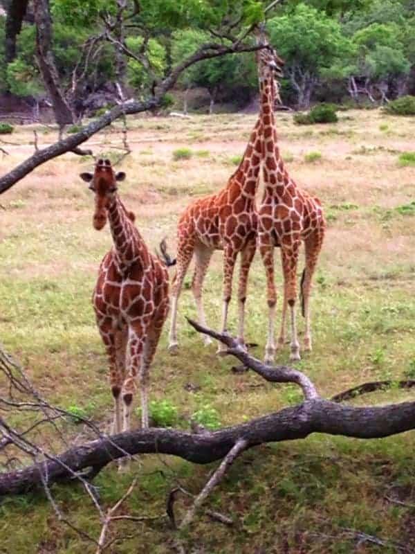 Giraffes at Fossil Rim