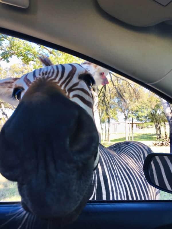 Zebra in Car at Fossil Rim, Texas
