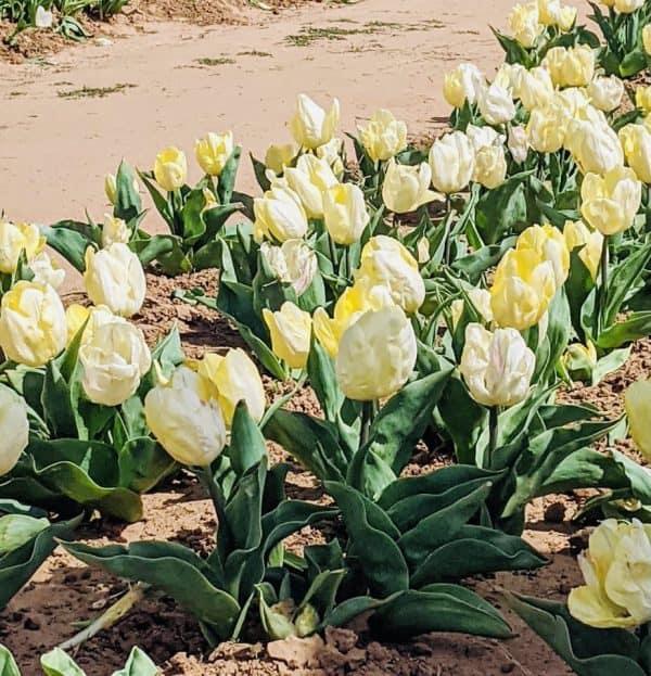 Texas Tulips North Texas